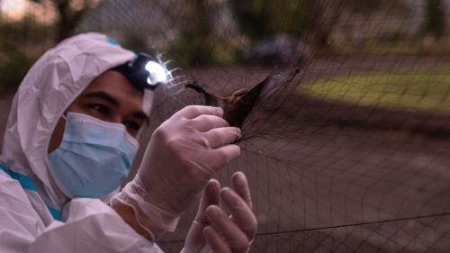 A scientist looks at a bat to test infection